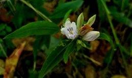 a Gentian (Gentiana sp.)