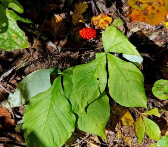 Jack-in-the-Pulpit (Arisaema triphyllum) with Fruit