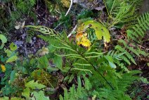 Netted Chain Fern (Woodwardia areolata) Fertile Frond