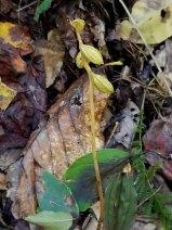 Puttyroot (Aplectrum hyemale) Seeds