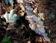 "Violet Toothed Polypore (Trichaptum biforme) ""Turkeytail Mushrooms"""