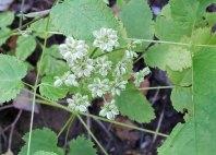 Filmy Angelica (Angelica triquinata) Fruit