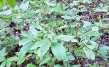 Minnie Bush (Menziesia pilosa) Fruit
