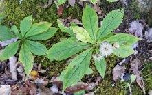 Whorled Wood Aster (Oclemena acuminata) Seeds