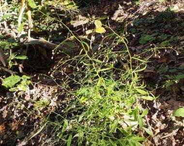 Southern Harebell (Campanula divaricata) Fruit