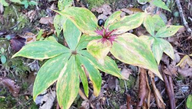 Indian Cucumber Root (Medeola virginiana) - the Last Berry!