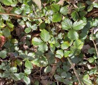 Probably Bristly Dewberry (Rubus hispidus)