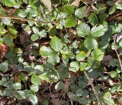 Possibly Bristly Dewberry (Rubus hispidus)
