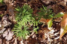 Ground Pine (Lycopodium obscurum)