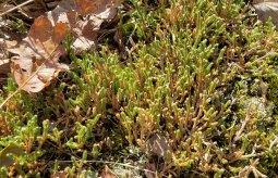 Ledge Spikemoss (Selaginella rupestris)