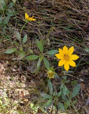Star Tickseed (Coreopsis pubescens)