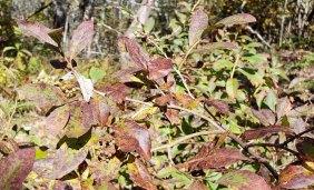 Maleberry (Lyonia ligustrina) Fruit