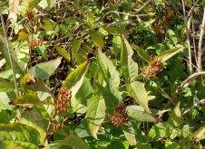Smooth Southern Bush Honeysuckle (Diervilla sessilifolia) Fruit