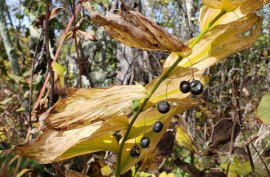Solomon's Seal (Polygonatum biflorum) Berries