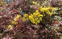 Buckberry (Gaylussacia ursina) & Wild Yam (Dioscorea villosa)