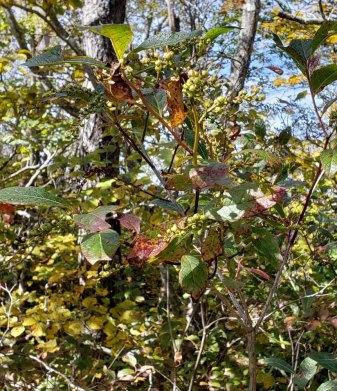 Mountain Fetterbush (Eubotrys recurva) Fruit