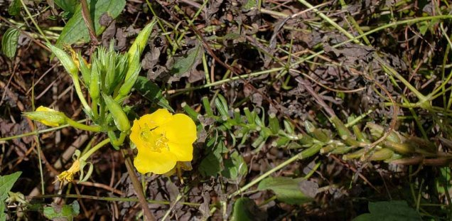 Common Evening Primrose (Oenothera biennis) Bloom