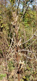 Common Evening Primrose (Oenothera biennis) Fruit