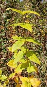 Whorled Loosestrife (Lysimachia quadrifolia) Fruit