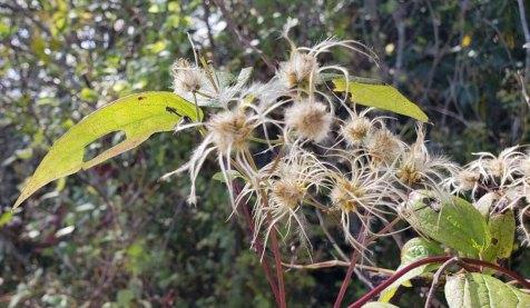 Virgin's Bower (Clematis virginiana) Seeds