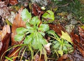 Michaux's Saxifrage (Micranthes petiolaris)
