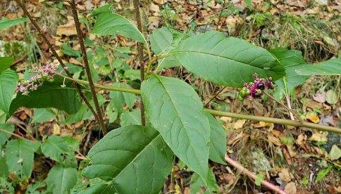 Pokeweed (Phytolacca americana) Blooms & Fruit