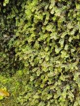 a Leafy Liverwort (Scapania sp.)