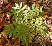 an Agrimony (Agrimonia sp.)