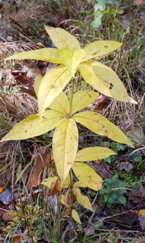 Whorled Loosestrife (Lysimachia quadrifolia)