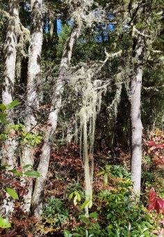 Probably a Beard Lichen (Usnea sp.)