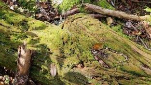 Pogonatum Moss (Pogonatum sp.)