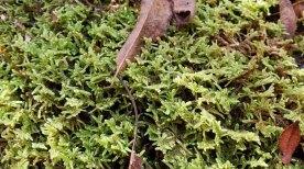 Feather Moss (Hypnum sp.)