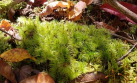 a Windswept Moss (Dicranum sp.)