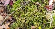 a Bazzania Liverwort (Bazzania sp.)