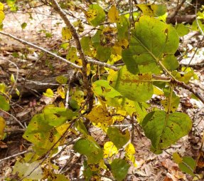 Possibly Eastern Cottonwood (Populus deltoides)