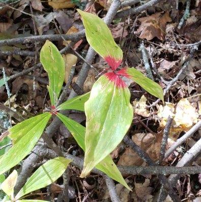 Indian Cucumber Root (Medeola virginiana)