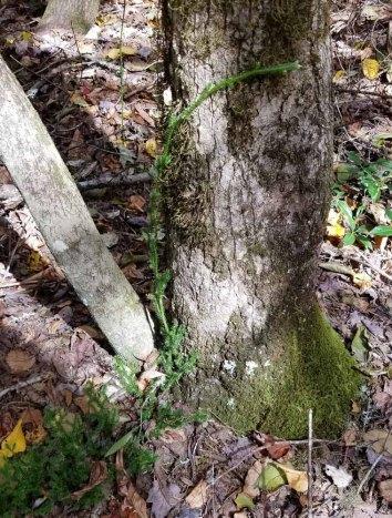 Running Club Moss (Lycopodium clavatum) Running Up a Tree!