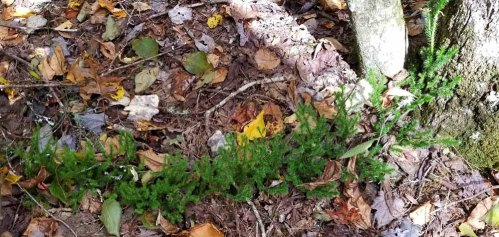 Running Club Moss (Lycopodium clavatum)