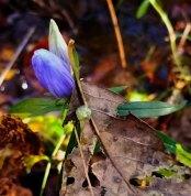 Soapwort Gentian (Gentiana saponaria)