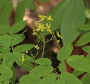 Blue Cohosh (Caulophyllum thalictroides)