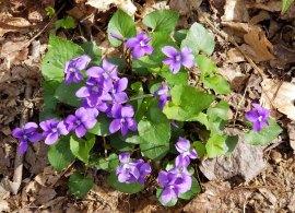 Crop of Common Blue Violets (Viola sororia)