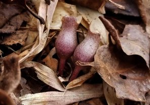 Little Brown Jugs (Hexastylis arifolia)