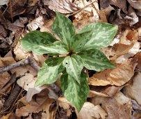 Nine Leaf Trillium