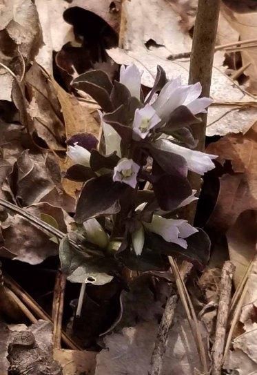 Pennywort (Obolaria virginica)