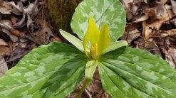 Trillium cuneatum (yellow/green form) or is it Trillium luteum?