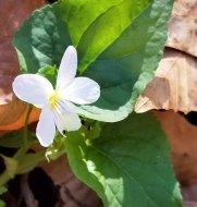 Canada Violet (Viola canadensis)