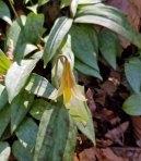 Dimpled Trout Lily (Erythronium umbilicatum)
