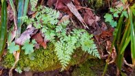 Lowland Bladder Fern (Cystopteris protrusa)