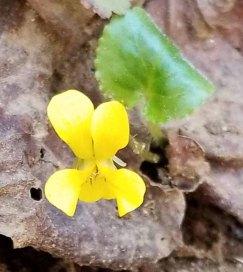 Round-leaved Yellow Violet (Viola rotundifolia)