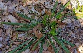 Seersucker Sedge (Carex plantaginea)